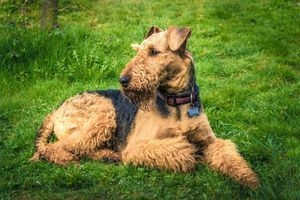 Airedale Terrier 7