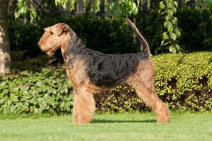 Airedale Terrier 2